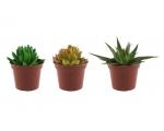 Kaktus potis 7,5cm 3 erinevat